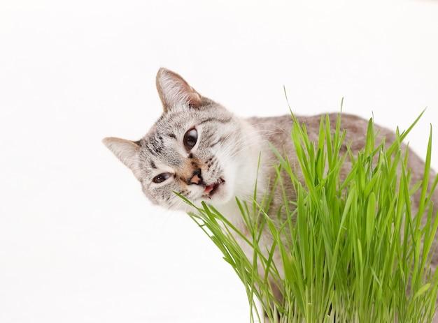 Gray cat eats grass, vitamins for a domestic cat.