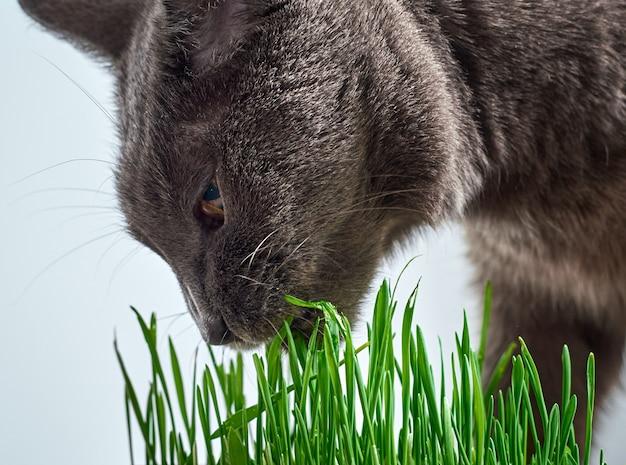 Gray cat eats green grass.