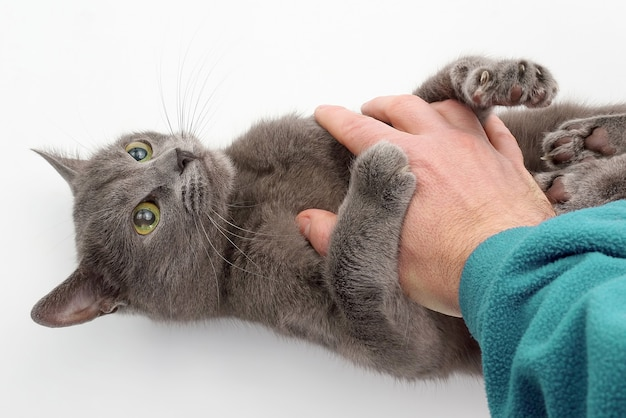Gray cat grabbed his hand paws on white background. home life of a beloved pet