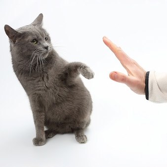 Gray cat grabbed his hand paws on white background