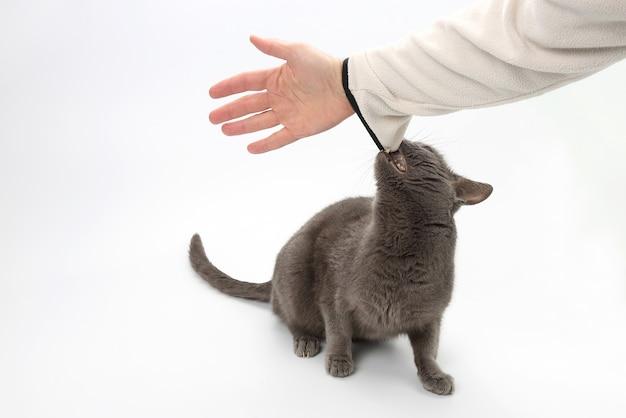 灰色の猫が人間の手の歯をつかんだ