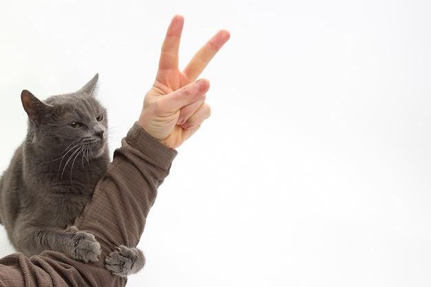 회색 고양이는 승리의 표시로 남자의 손을 껴 안았습니다.