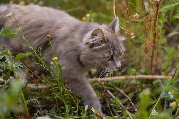 수풀에서 사냥하는 회색 고양이 시베리아 품종