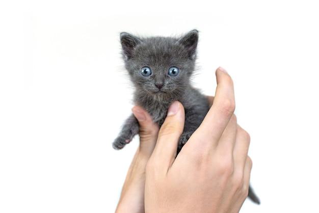 흰색 바탕에 손에 회색 고양이 격리. 파란 눈과 회색 머리를 가진 영국 품종의 신생아 새끼 고양이