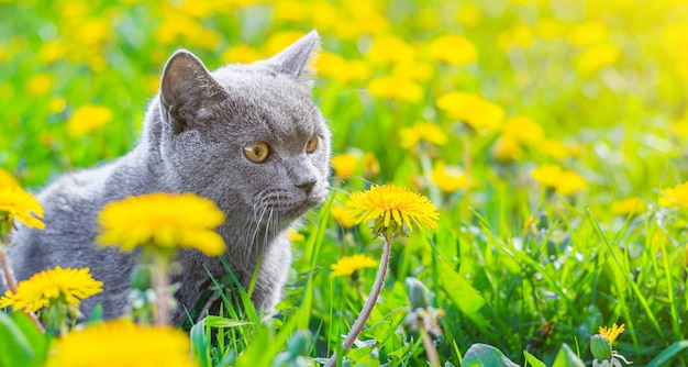 A gray cat is sitting in dandelions. cat in the flowers. a beautiful photo on the cover of a notebook, album, puzzle. bright photo of a cat. cat of the british breed. pet for a walk.