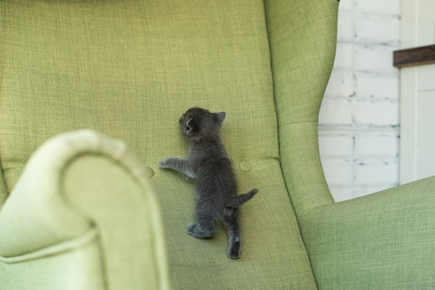 緑の肘掛け椅子に灰色の猫。家具の子猫。家の中の動物。