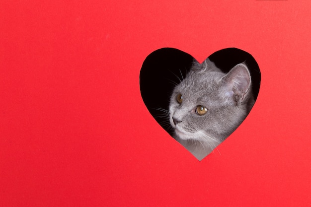 Gray cat peeps out of hole in the shape of a heart on a red background. valentine's day concept