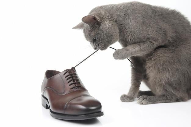 Серый кот играет с классической кружевной мужской коричневой обувью на белом фоне