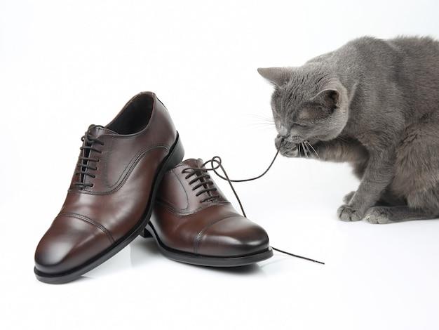 Серый кот играет с классической кружевной мужской коричневой обувью на белой поверхности