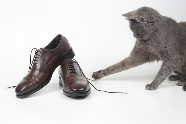 Серый кот играет с классической кружевной мужской коричневой обувью на белом