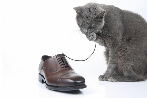 회색 고양이는 흰색에 클래식 레이스 남자의 갈색 구두와 연극