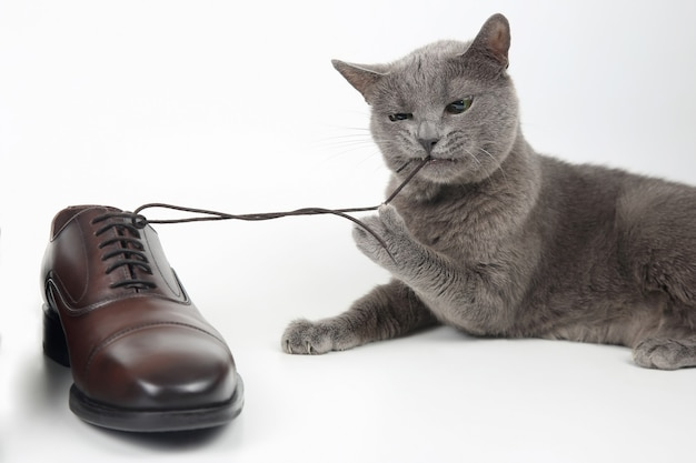 Gray cat plays with a classic lace men's brown shoe on white background