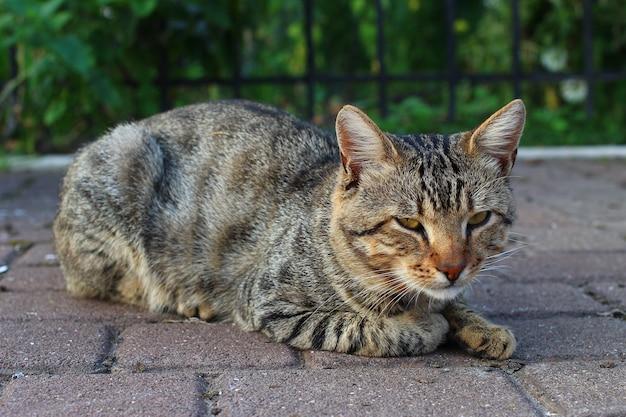 길거리에서 쉬고 회색 고양이
