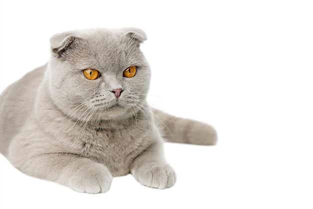 灰色の猫スコティッシュフォールド分離