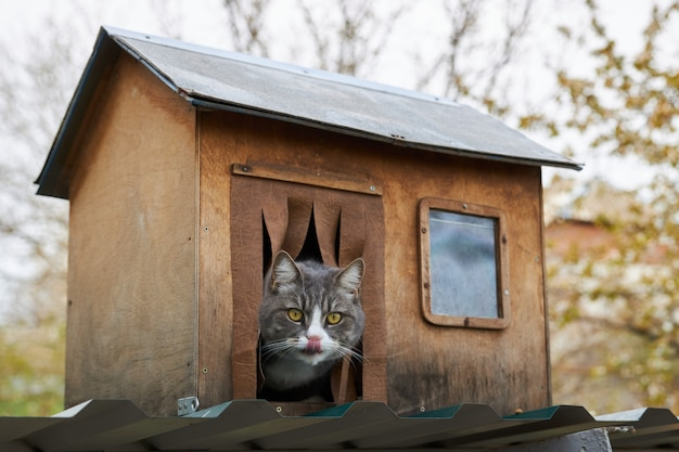 灰色の猫が木造の家に座って頭を突き出し、唇をなめる