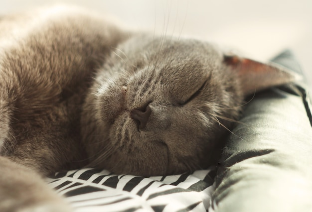 Gray cat sleeping in his soft cozy bed on a floor.russian blue cat,close up.pet care, friend of human.