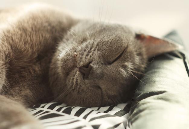 床の柔らかく居心地の良いベッドで眠っている灰色の猫。ロシアンブルーの猫、クローズアップ。ペットの世話、人間の友人。