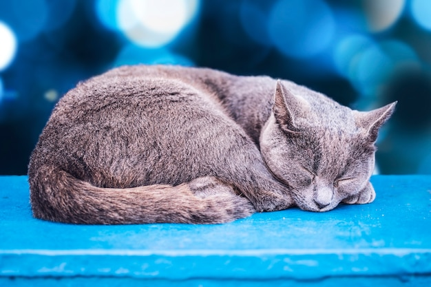 Gray cat, sleeping, with blue bokeh