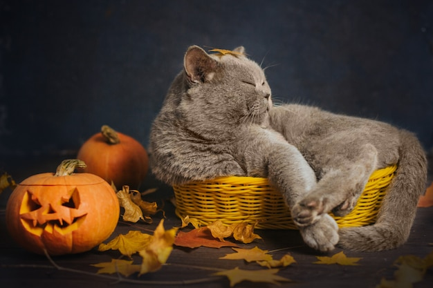 Gray cat sleeps in a small yellow basket, surrounded by autumn leaves and pumpkins. halloween cat