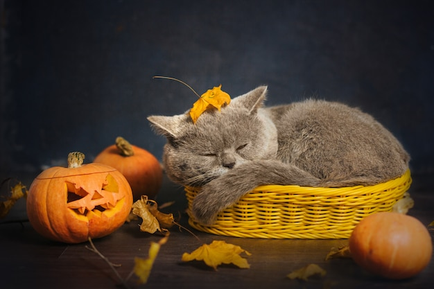 Gray cat sleeps in a small yellow basket, surrounded by autumn leaves and pumpkins.