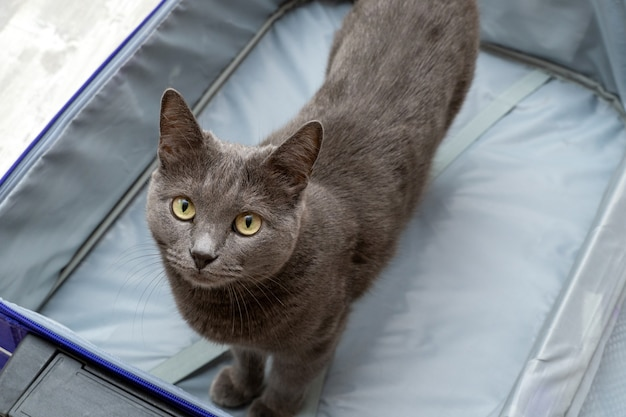 Gray cat stands in the opened empty suitcase