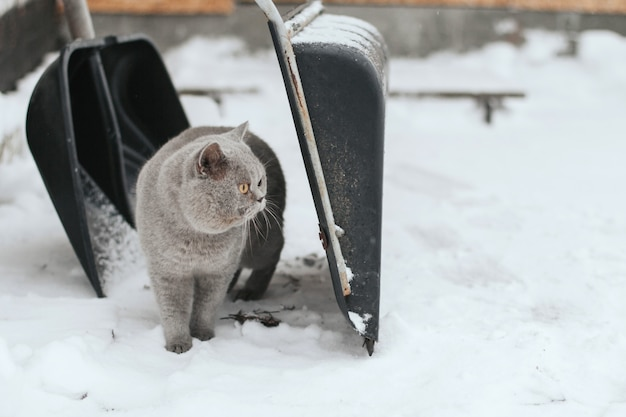 A gray cat stands in the snow between two shovels for cleaning snow.