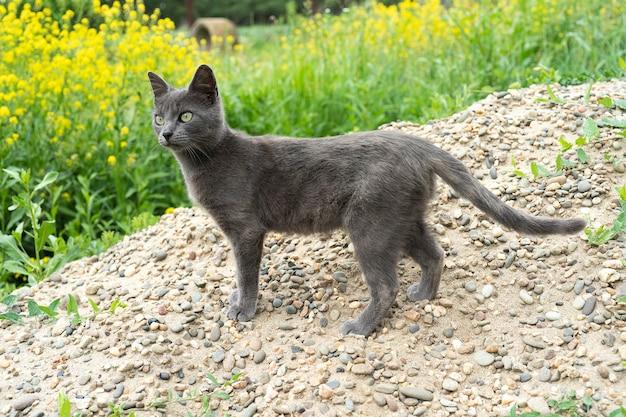 夏の日に外を歩く灰色の猫かわいい猫の肖像背の高い緑の芝生にとどまる猫