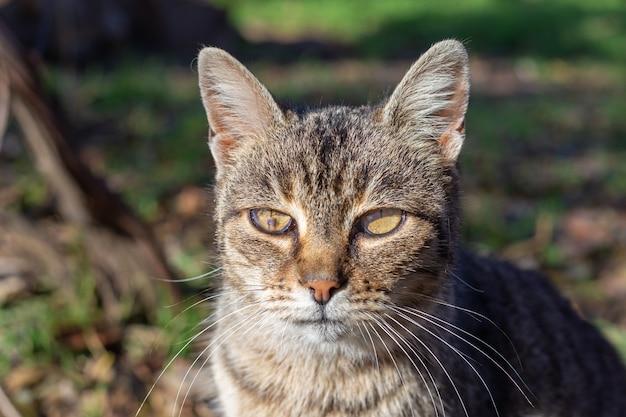 目の痛み、負傷した虹彩を持つ灰色の猫。ペットの治療と支援。