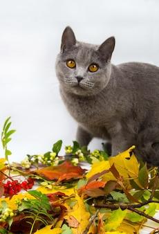 Серая кошка с осенними листьями. серая кошка с осенними листьями.