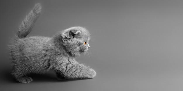 灰色の美しい目を持つ灰色の猫