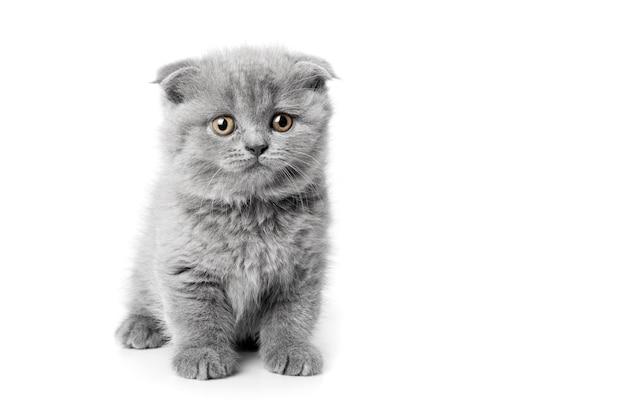 白い背景の上の美しい目を持つ灰色の猫 Premium写真