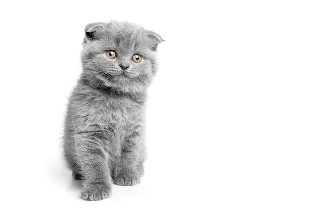 白い背景の上の美しい目を持つ灰色の猫