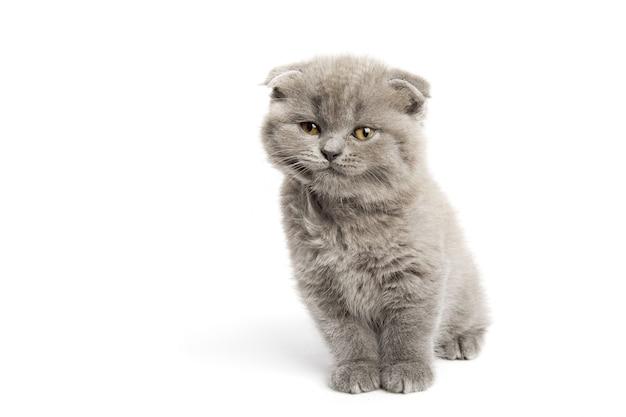 白に美しい目を持つ灰色の猫
