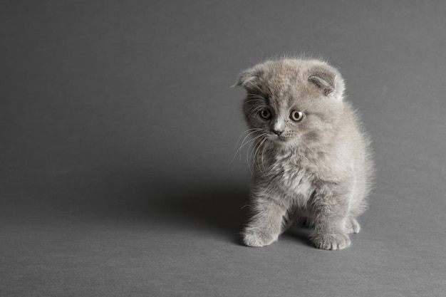 黄色の背景に美しい目を持つ灰色の猫