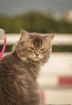ふわふわの髪の灰色の猫