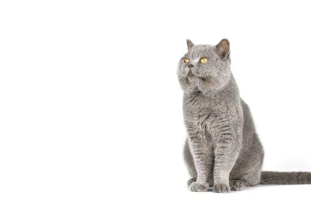 Серый кот с желтыми глазами на белом изолированном пространстве копии стены.