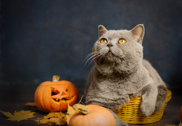 A gray cat with yellow eyes sits in a small yellow basket surrounded by autumn leaves and pumpkins.