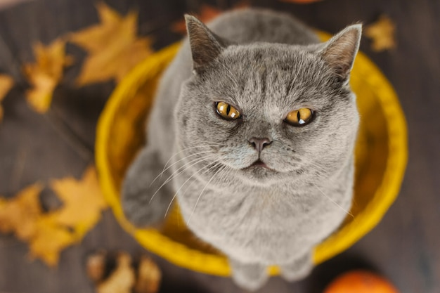 Gray cat with yellow eyes sits in a yellow basket on a background of autumn leaves
