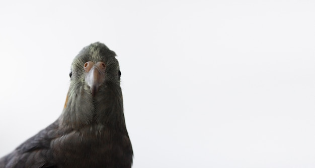Gray cockatiel parrot