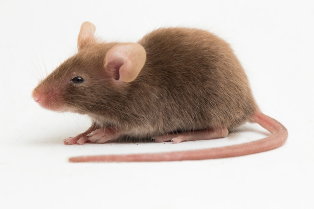 Gray common house mouse isolated