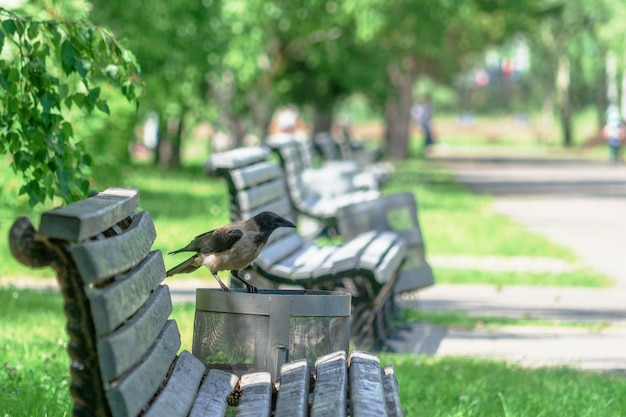 A gray curious crow sits on a trash can in park a summer.