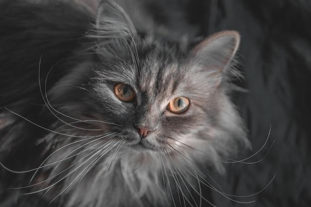 큰 주황색 눈과 긴 콧수염을 가진 회색의 귀여운 솜털 스코틀랜드 하이랜드 스트레이트 롱헤어 고양이