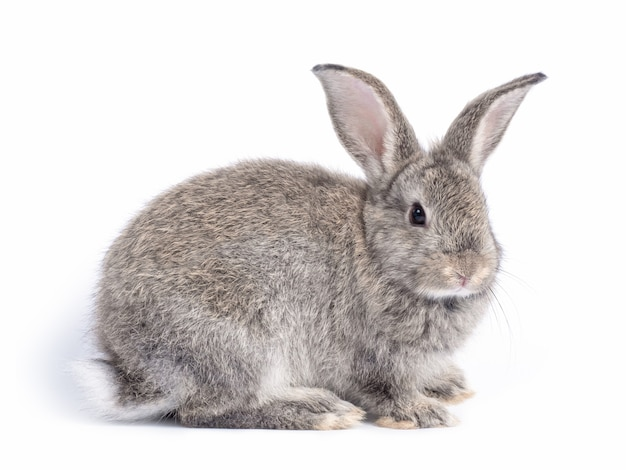 Gray cute rabbit sitting isolated on white wall.