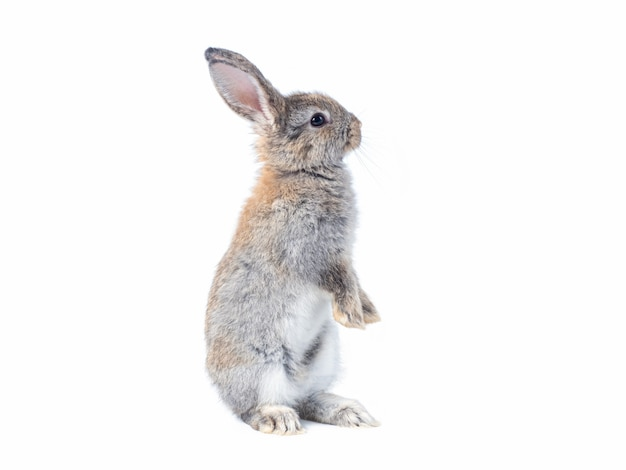 Gray cute rabbit standing on white wall.