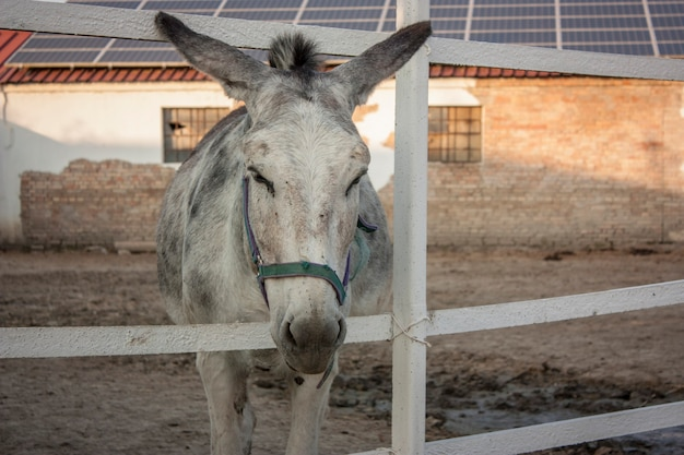Gray donkey in the enclosure inside a farm in italy