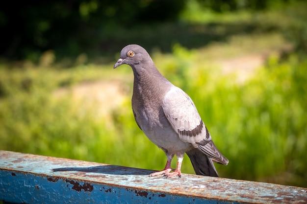 晴れた日の金属フェンスの上の灰色の鳩
