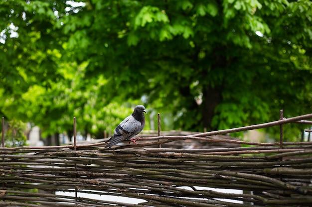 Серый голубь на деревянном заборе