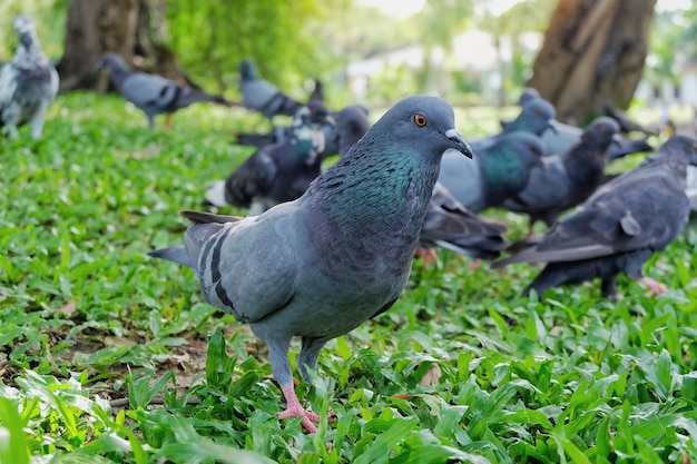 Gray dove or pigeon (columba livia) is standing and eating bread on green grass in the pub