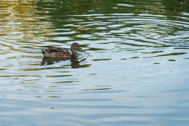 A gray duck swims in a blue lake on a sunny day in summer.