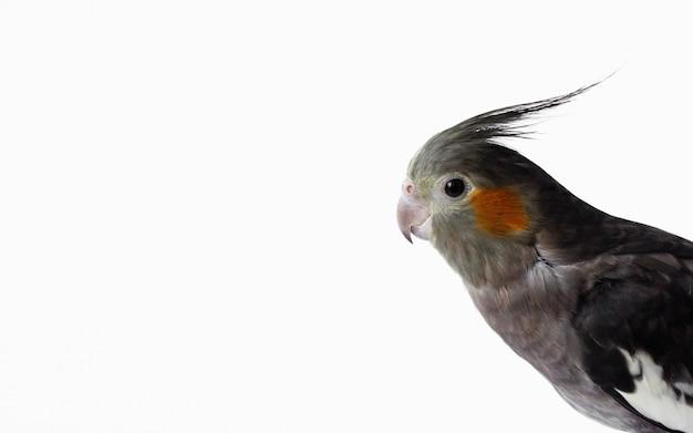 Gray female cockatiel parrot